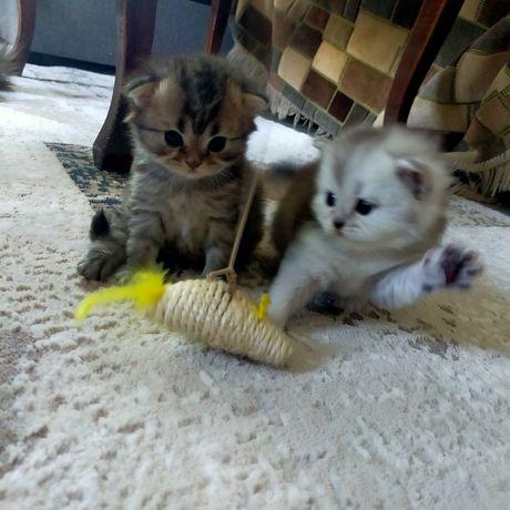 Бронь котята от породистых родителей Хайленд