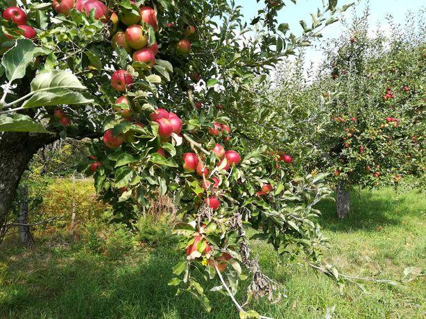 Vând mere ionatan, florina și golden
