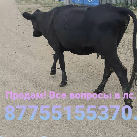 Продам корову    .