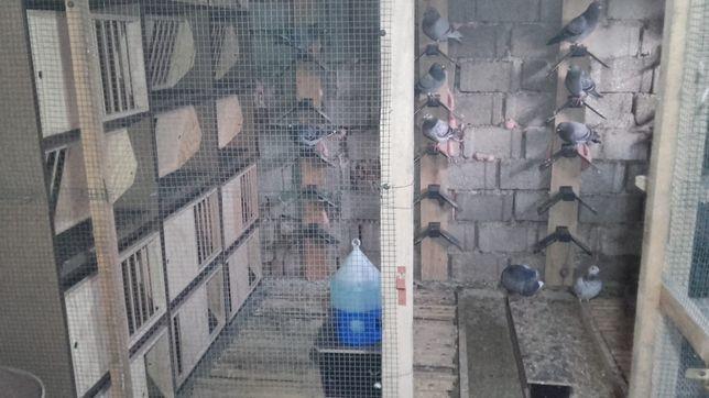 Porumbei pentru concurs