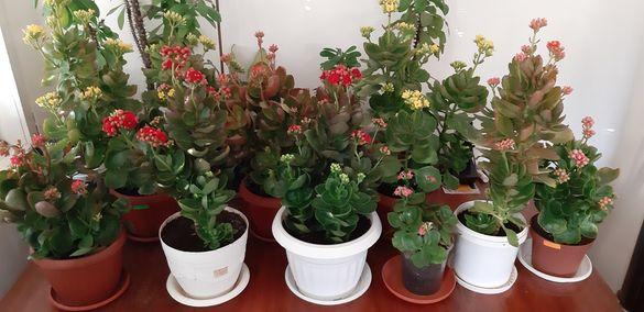 Каланхое различни цветове ,големина и други цветя