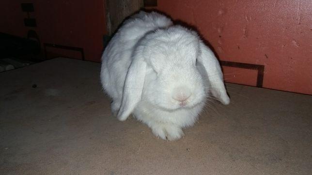 Продам кролика .