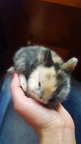 продавам мини зайче