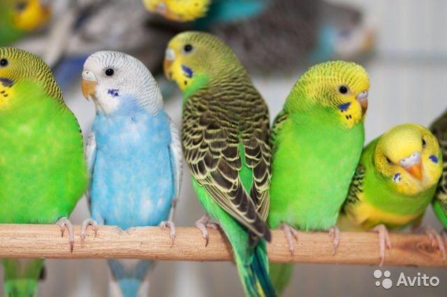 Волнистые попугаи в наличии, здоровые