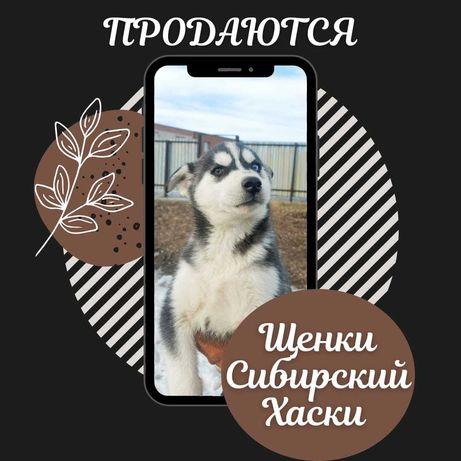 Щенки породы Сибирской Хаски