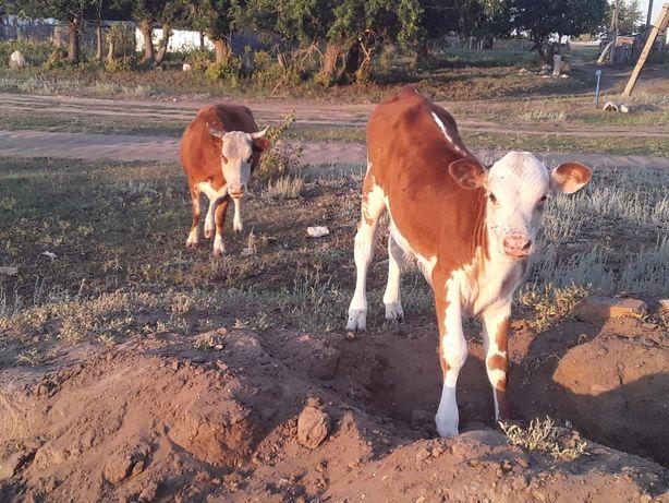 Продам коровы и теляты
