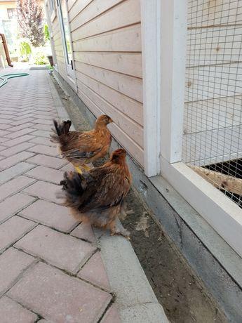 Цыплята Кучинские