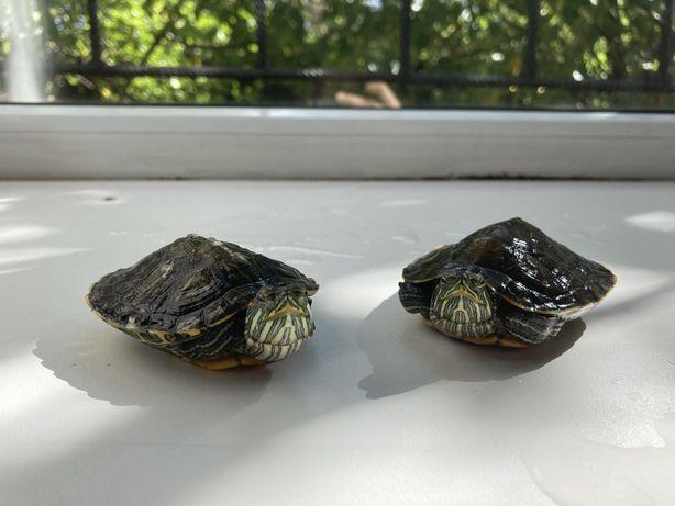 Продам красно ухих черепах