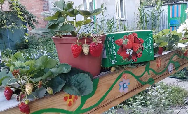 Оригинальный набор для выращивания клубники