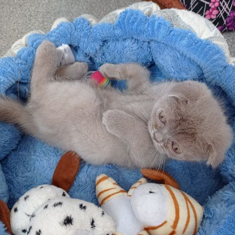 Продам котёнка скоттиш фолд