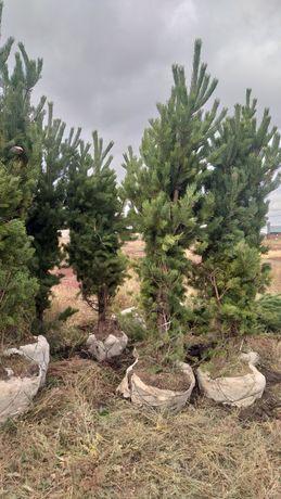 Продажа 3-4 метровых сосен