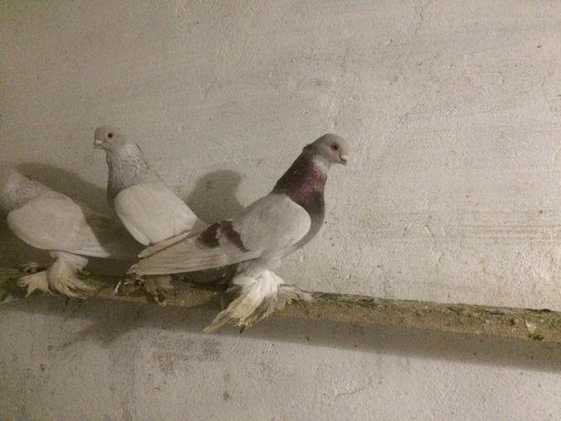 Продам голубей самцы
