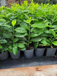 Laur englezesc veșnic verde 80-100 cm