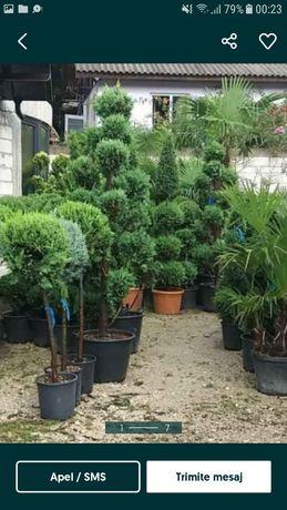 Plante ornamentale gazon vand la comanda si montez in toata tara