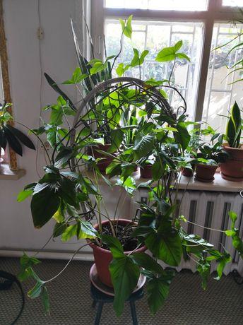 Комнатное растение. Домашние цветы