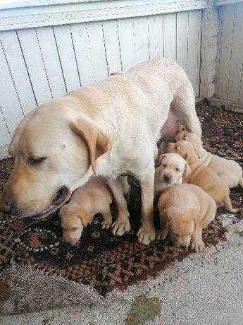 Labrador retriever asigur transport la cerere