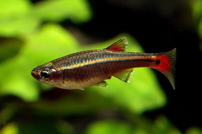 Кардиналы рыбки