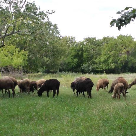 Бараны, овцы на продажу