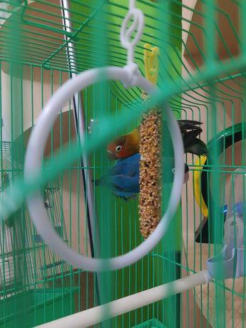 Agapornis (love birds)