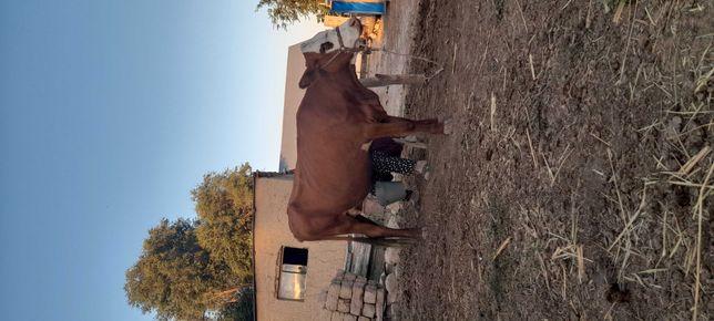 Сиыр (Корова)Сатылады,Ақбас Порода