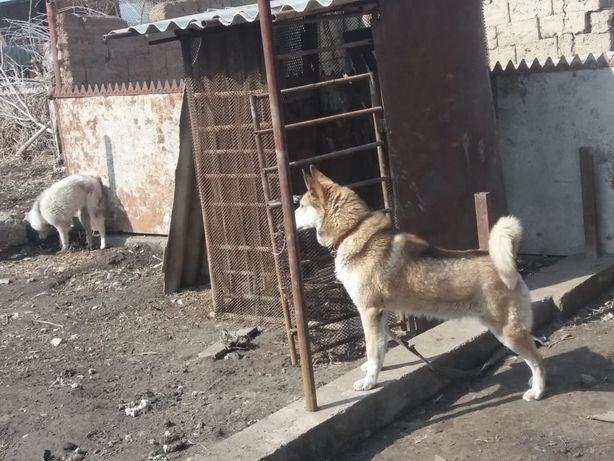 Продам собаку породы Лайка