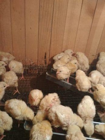 Цыплята бройлеры суточные и утята есть достаака