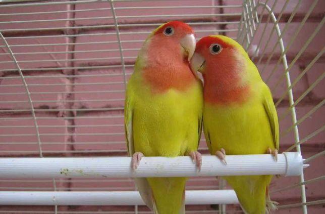 Попугаи Неразлучник