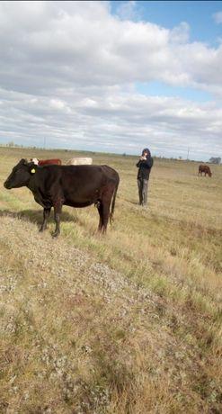 Продам корову 2х лет