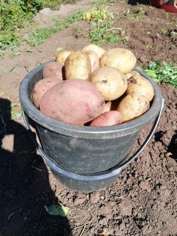 Дачная картошка 10 л 2000 тг