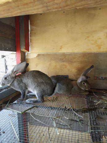 Продам кроликов девочки