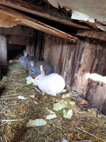 Продам кроликов 2мес