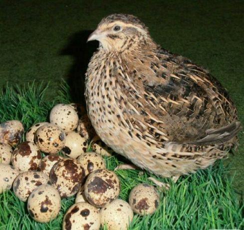 Перепелиные яйцо