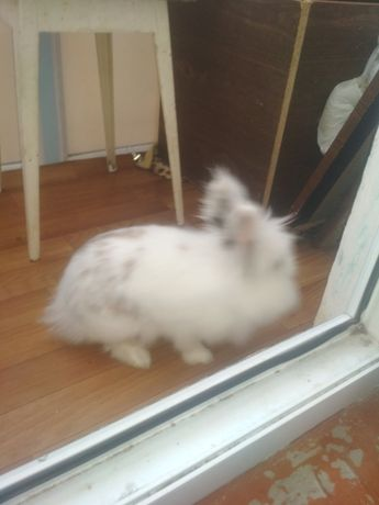 Отдам кролика декоративного