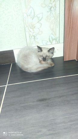 Кот сиамски! Очень умный и добрый!