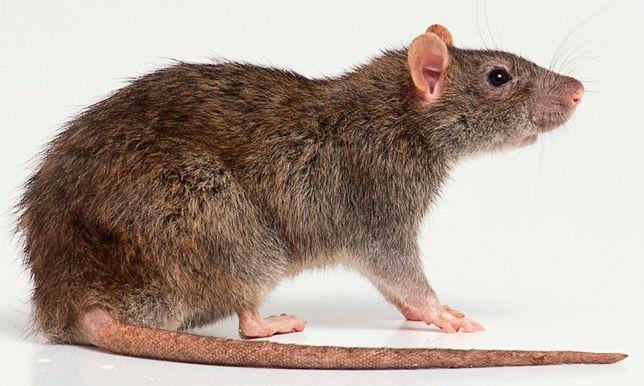 Самые эффективное средства от крыс мышей