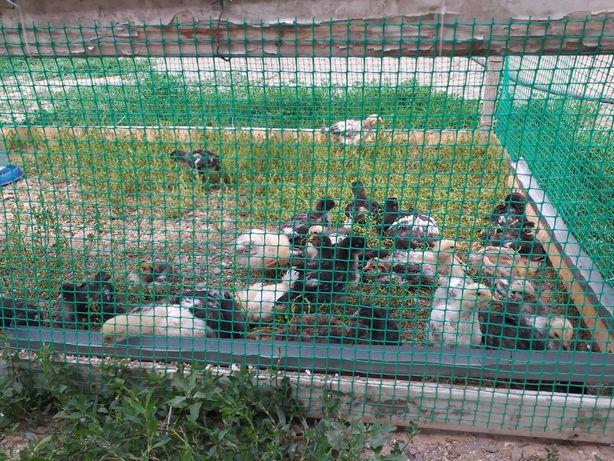 Продам цыплят домашних несушек