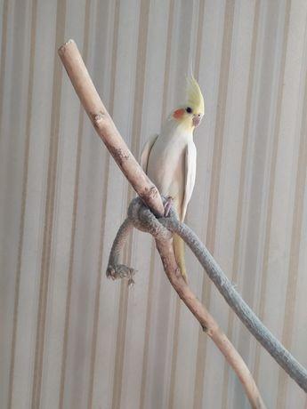 Попугай Корелла Нимфа.
