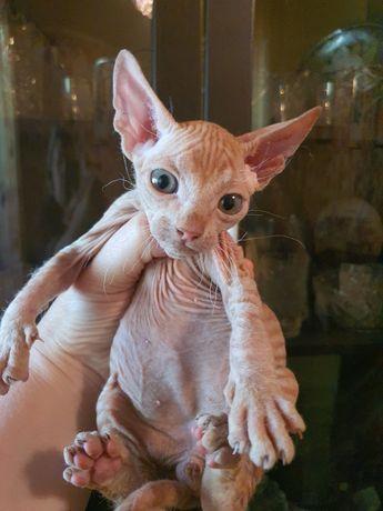 Котята сфинксы в домашнии любимцы