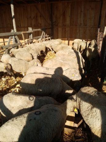Vând oii de tăiat vând oii de tăiat