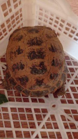 Продам черепаху 8000