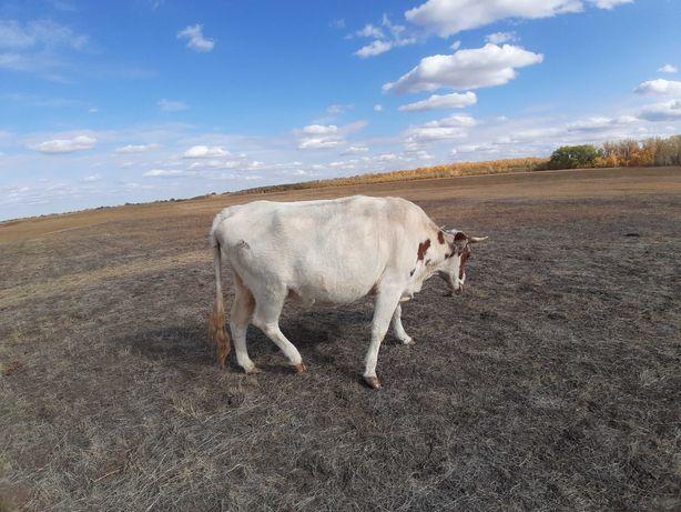 Продам молочную корову корова дойная