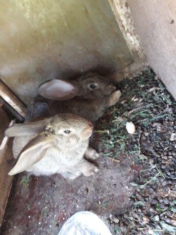 Продам кроликов 1 месяц