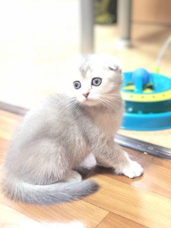 Вислоухие и прямоухие шиншилловые котята