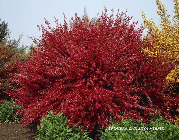 """CYTISUS """"BOSKOOP RUBY"""" - planta ornamentala"""