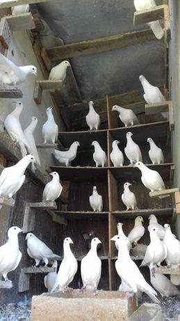 Porumbei rotați și Maria Stuart