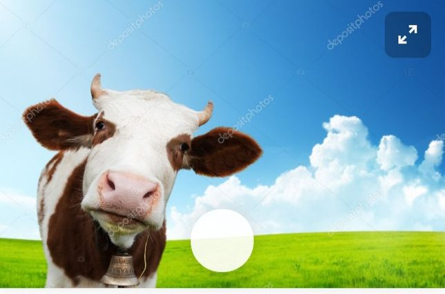 Продам коров дойных в количестве 5штук