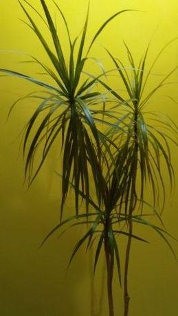 Палма ЮКА и Драцена+подарък др цвете,буркани-0.20лв,буре