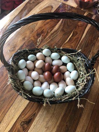 Oua de la 3 lei pentru incubat si incubatoare pui automate!