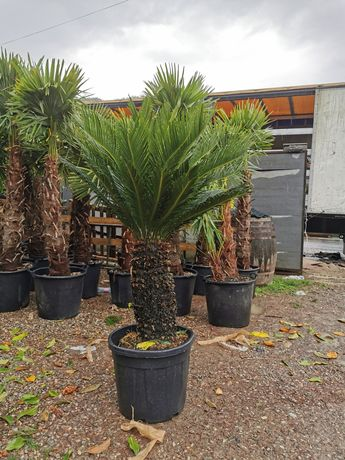 Vând palmier cycas
