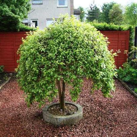 Salcie curgatoare capreasca (Salix caprea) 30/50 cm